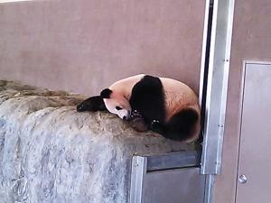 panda_sleep2.jpg