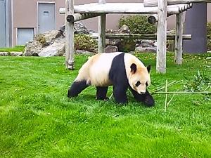 panda_walk.jpg