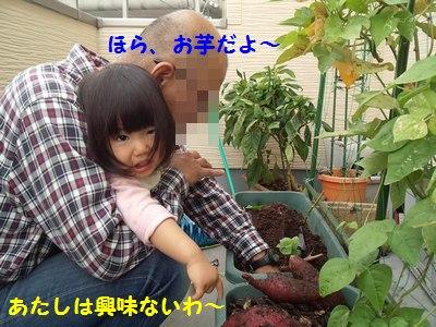20141020芋収穫②