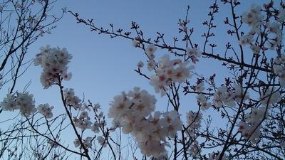 20150326桜①