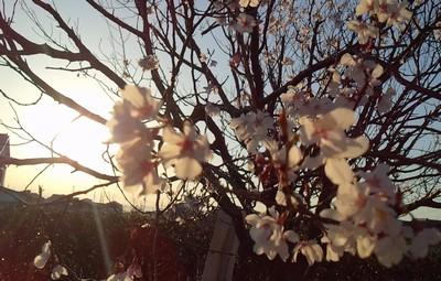 20150327桜②