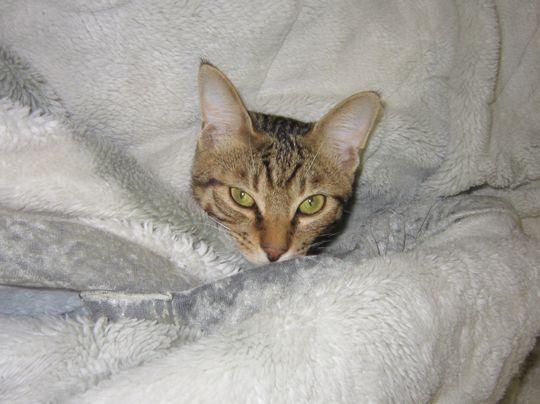 ニャンコは毛布で丸くなる