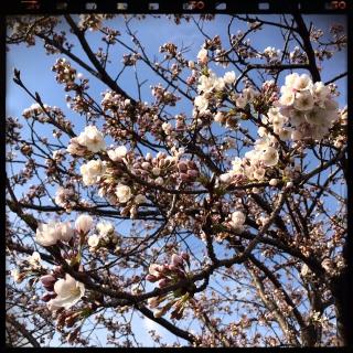20150408桜5