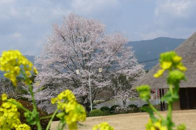 桜淵2015-1