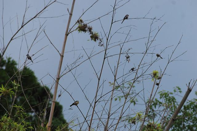 エナガの群れが竹藪に