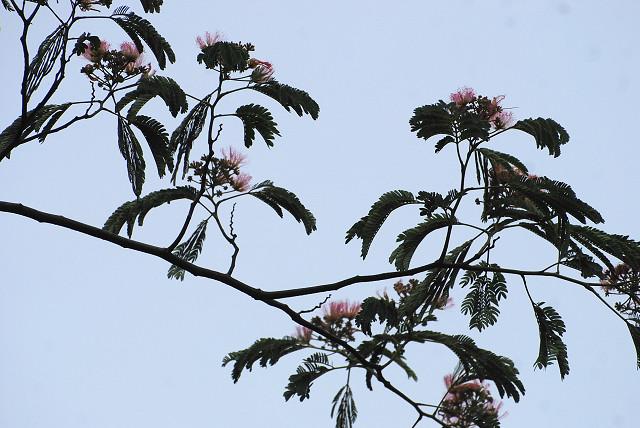 見上げたネムノキの花