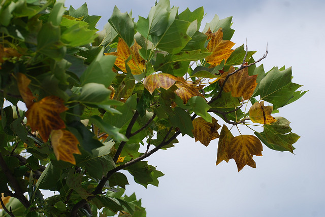 ユリノキの葉の黄葉