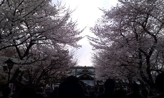 靖国神社の桜花