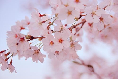 日本本土に送られた「サクラサクラ」、この六文字の電文は、ペリリュー島守備隊全員が「桜花のごとく散った」、という事を伝えるためのものでした