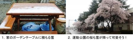 風景15_4_8 雪と桜