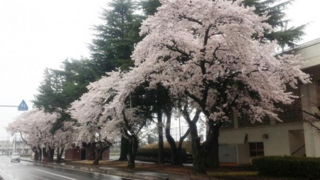 風景15_4_8 運動公園雪に桜