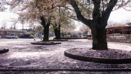 風景15_4_15 桜の花びらジュウタン