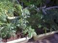 tomato20150512.jpg