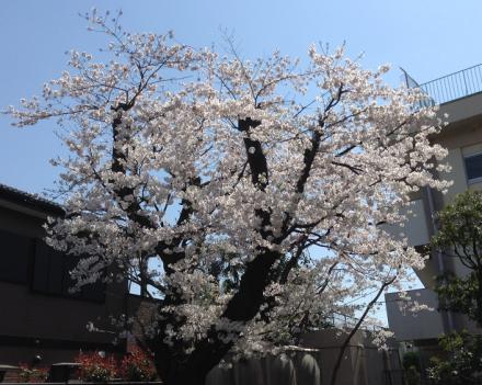 三橋公民館の桜 20150331