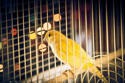 籠の中の鳥は
