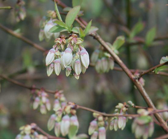 ブルーベリーの花2