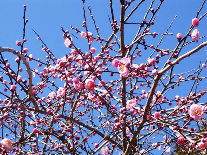 梅の木 IMG_3308(2)