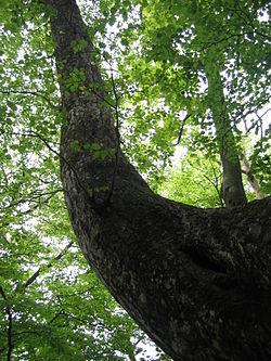シナの木「榀」