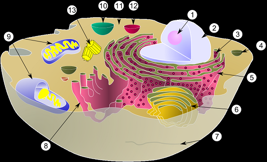 細胞内のミトコンドリア