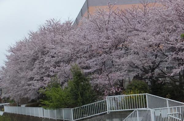 2015-4遊歩道の桜