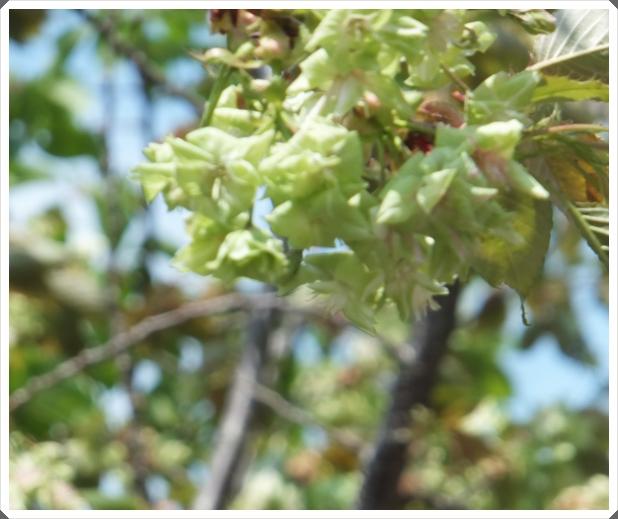 2015-4緑桜