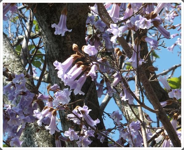 2015-5桐の花