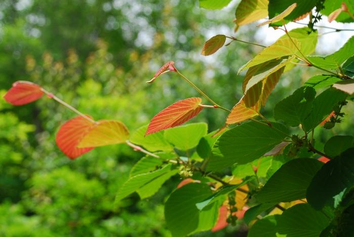 土佐ミズキの葉8