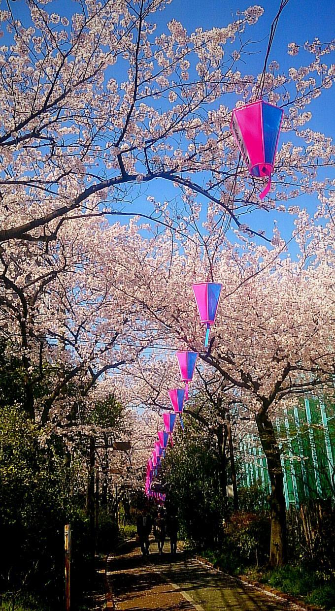 桜_20150402
