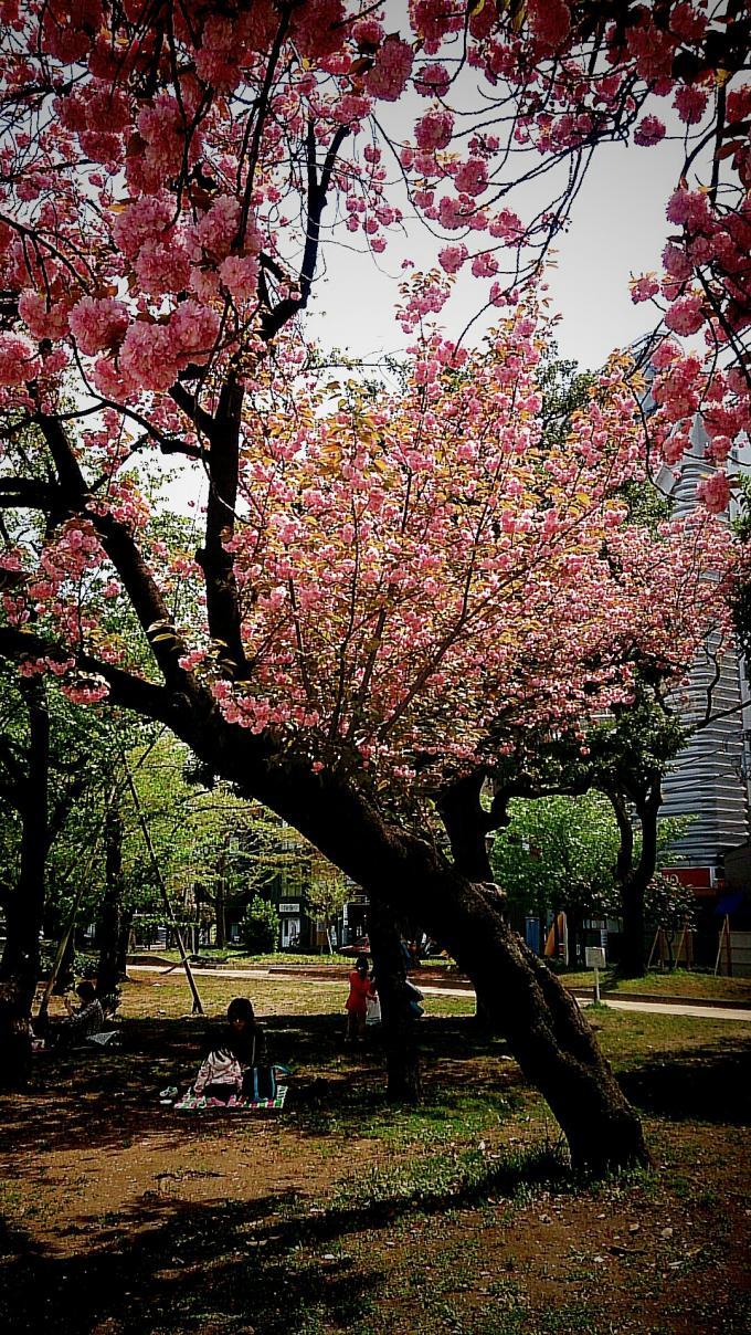お花見_20150416