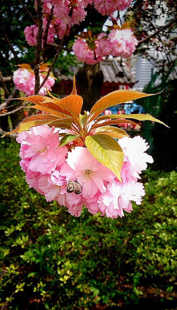 八重桜_20150416