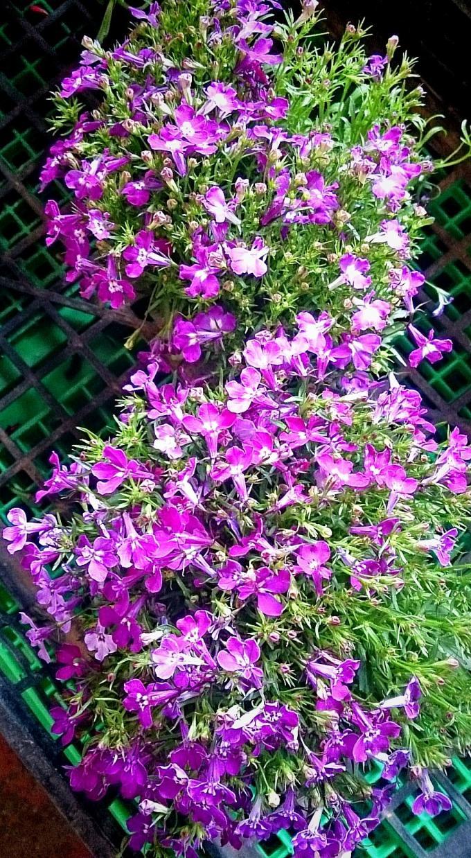 Flower_20150420
