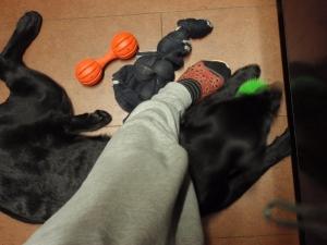 大きくなぁ~れ ラブラドールレトリバー :エクステリア横浜 愛犬と過ごすお庭空間(ドックラン)のご相談をお受けしております。