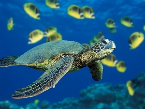 s-Green Sea Turtle