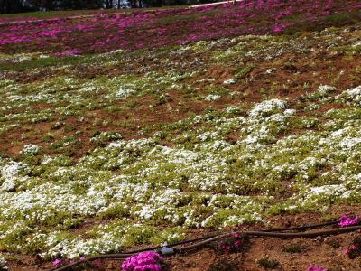 芝桜咲き始め