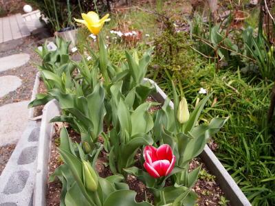 チューリップ咲いた