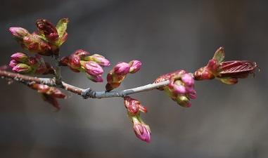 4・1歳・桜つぼみ