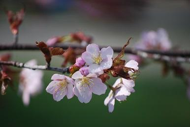5・牝・桜