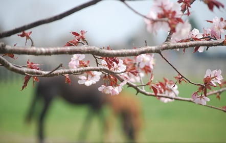 5・藁・桜