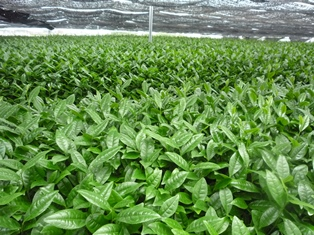 抹茶の茶畑