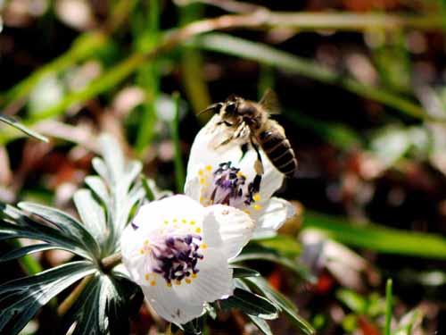 蜂-節分草