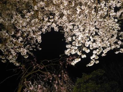 N_studiomimosa夜桜