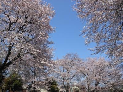 N_studiomimosa桜空間