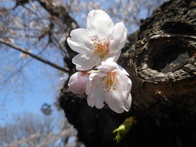 G_studiomimosa桜