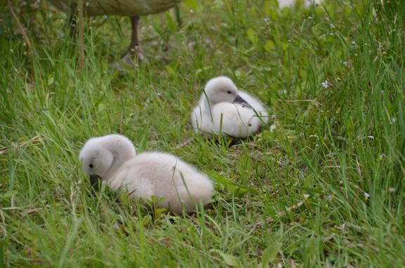 20150510白鳥親子 (1)