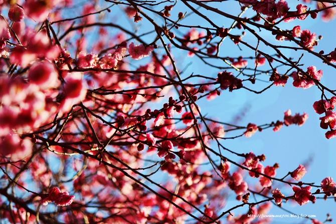 チビプードルモコの毎日☆梅