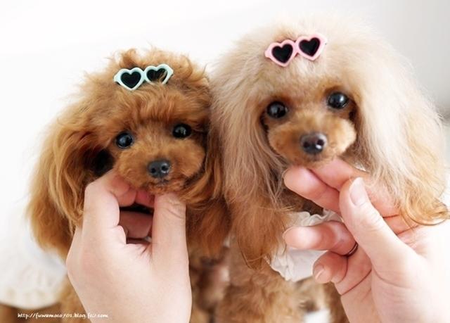 チビプードル☆モコの毎日 モコみるくサングラス♪