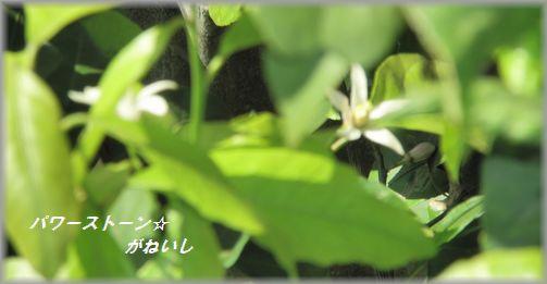 遠目のレモンの花
