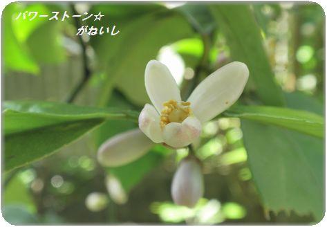 レモンの花の