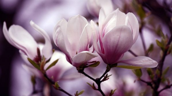 noble-magnolia-free-desktop-wallpaper-598x336.jpg