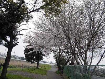 公園の処の桜